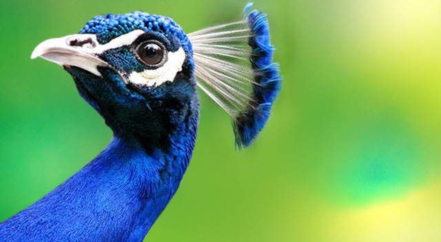 peacock-neck-view
