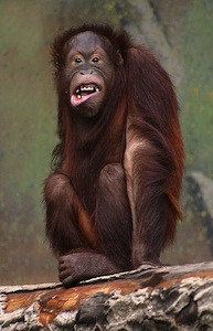 monkey laughing 2