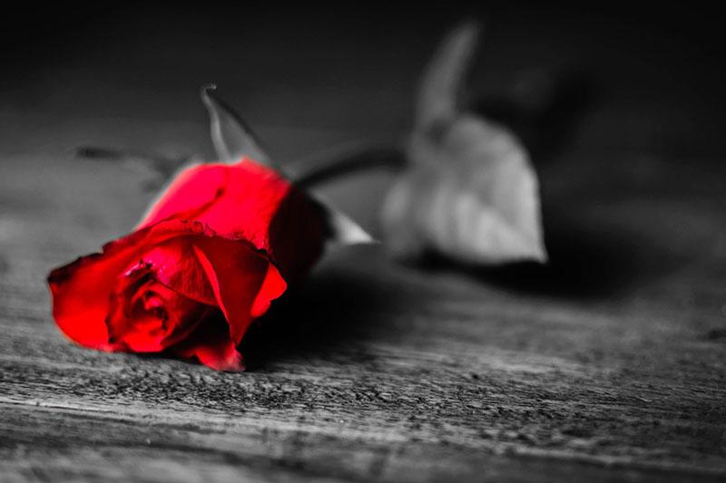 red-rose-death-sad